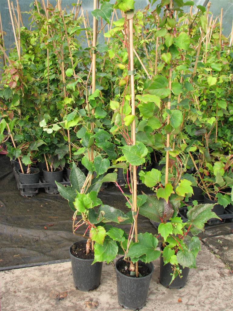 jungfernrebe wilder wein parthenocissus veitchii im topf 60 100 cm gro ebay. Black Bedroom Furniture Sets. Home Design Ideas